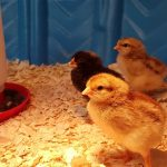 Three chicks have hatched at Dwight Public Library this week