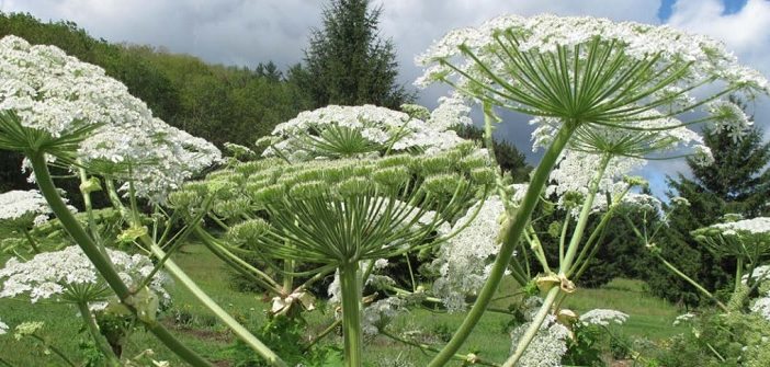District of Muskoka continues to battle invasive plants