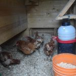 The Ball family, which has challenged the Town bylaw, has 15 chickens on three-quarters of an acre