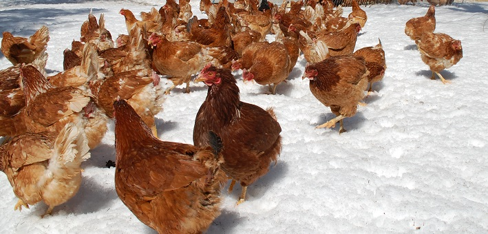 The Gamble Farm's hens are enjoying the return of spring