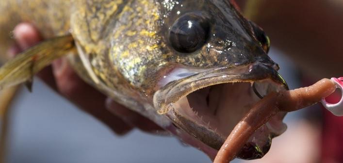 Fish licence-free until July 7 - Huntsville Doppler