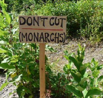 This sign was effective - Town crews left this patch of milkweed alone when they came by to cut back vegetation in the ditch (Photo: Zelda Dwyer)